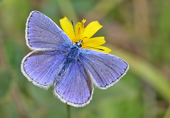 Common blue butterfly (Roger H3) Tags: insect butterfly lepidoptera blue common