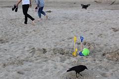 IMG_4917_small_F (Paul Russell99) Tags: crows seaside beach bucket spade weymouth
