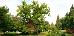 Johnson Walnut (Wolfram Burner) Tags: johnson hall tree removal walnut waltnut uo uofo universityoforegon landscape architecture