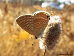 Butterfly 2018 (+340000 views!) Tags: butterfly borboleta farfalla mariposa papillon schmetterling  morocco