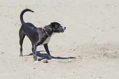 Gone swimming (Michael Dunn~!) Tags: beach dog marinadistrict photowalking photowalking20130414 sand sanfrancisco