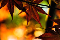 Happy Autumn (Light Echoes) Tags: sony a6000 2016 spring april pennsylvania macro plant tree leaves leaf maple redmaple bokeh outdoor septemberequinox equinox autumn fall