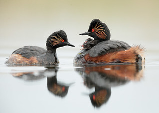 Black-necked Grebe Podiceps nigricollis, pair with young chicks.