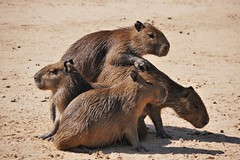 Young Capybaras Playing (Susan Roehl) Tags: braziltrip2016 thepantanal cuiabariver southamerica brazil mammal youngsters capybara river outdoors roughhousing sueroehl naturalexposures photographictours panasonic lumixdmcgh4 100400mmlens