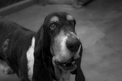 My Basset Nataly (Carlos Magrini Dusach) Tags: basset hound