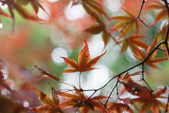 Autumn is approaching (_anke_) Tags: 2016 digital 50mm14 primelens autumn fall season seasonal tree nature mapletree japanesemaple branches leaves leaf plant bokeh dof blur botanicalgarden garden park outdoors orange red