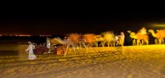 Camels (Tiigra) Tags: sharjah unitedarabemirates ae 2013 dubai light nature night people rhythm