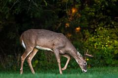 YoungSeven (jmishefske) Tags: wisconsin wildlife antler buck whitetail halescorners rack d500 september park whitnall milwaukee nikon deer 2016