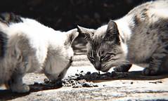 Lunchtime for Neko (Jon-F, themachine) Tags: jonfu 2016 olympus omd em5markii em5ii em5mkii em5mk2 em5mark2  mirrorless mirrorlesscamera microfourthirds micro43 m43 mft ft     snapseed japan  nihon nippon   japn  japo xapn asia  asian fareast orient oriental aichi   chubu chuubu   nagoya  polarr monochrome monochromatic grayscale greyscale cat cats   kitty kittycat kitties stray strays pussycat pussycats puddytat neko  nyanko