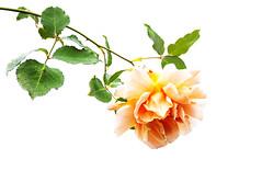 ... rose, drooping ... (jane64pics) Tags: 52weeksof2016 week 38 highkey week38 rose peach peachrose peachcoloured janefriel janefriel2016 greystonescameraclub gcc nature naturallight naturalbeauty whitebackground