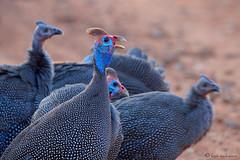 Wild Helmeted Guineafowl (leendert3) Tags: helmetedguineafowl ngc npc sunrays5