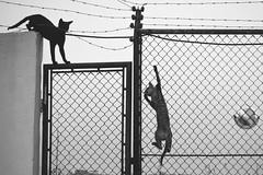 Si tu vas yo no se si voy (Joan Saezc) Tags: cats cat climb street photography eliot erwitt style climbing gatos urbanos urban la calle es muy dura fotografa urbana instante decisivo decisive moment
