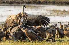 """Buffalo kill with Vulture and Jackel in Chobe National Park, Botswana • <a style=""""font-size:0.8em;"""" href=""""https://www.flickr.com/photos/21540187@N07/8347797618/"""" target=""""_blank"""">View on Flickr</a>"""