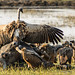 "Buffalo kill with Vulture and Jackel in Chobe National Park, Botswana • <a style=""font-size:0.8em;"" href=""https://www.flickr.com/photos/21540187@N07/8347797618/"" target=""_blank"">View on Flickr</a>"