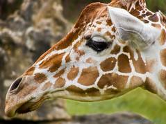 Giraffe (caroltlw (on hiatus)) Tags: canon zoo powershot giraffe brevardzoo sx40 flickrandroidapp:filter=none canonsx40