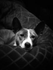 B&W Glamour Shot (jezandia) Tags: dog basenji raisin thelittledoglaughed highqualitydogs