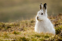 Fluffy Hare (VinceHasMadeIt) Tags: park white mountain snow cute scotland hare fluffy national cairngorms kingussie sneeuwhaas