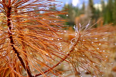 Shake it Off.... (Withattitude_R) Tags: morning winter tree nature water pine droplets dew yosemite