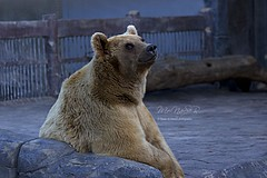 (Naser__salem) Tags: bear bird birds animal zoo fly wolf bears donkey crocodile kuwait   kuwaiti feral croce q8    gazal jerff          q8photo      uploaded:by=flickrmobile flickriosapp:filter=nofilter gerff kuwaittag