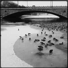 Ducks (denisperekhrest) Tags: bridge bw white black ducks noflash minsk iphone makebeautiful iphoneography hipstamatic iphone4s jamesmlens rockbw11film