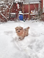 malte (piaktw) Tags: dog snow cat garden kitten terrier shorthair british norfolkterrier britishshorthair malte luddkolts