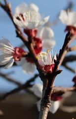Tresnja (mazek slobodan) Tags: canon eos 1855 efs slobodan drvo biljka cvet mladenovac kajsija vocka tresnja sljiva visnja 1100d isii mazek