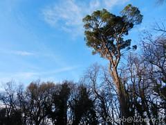 ...pino marittimo... (rebranca46) Tags: nature albero pino bosco rebranca italy2013 beatosantepu
