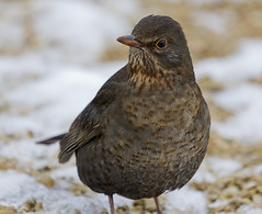 blackbird (female) (Alchimi) Tags: winter snow bird wales female wildlife blackbird