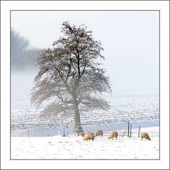 Seeking for Some green ... (scrabble.) Tags: winter snow cold tree nature animal countryside frost sheep chilly wintertime winterlandscape zuidholland naturelandscape voorneputten vierpolders winter2013