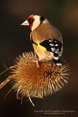 European Goldfinch (Carduelis carduelis) (gcampbellphoto) Tags: winter bird nature wildlife goldfinch northernireland avian biodiversity ballycastle cardueliscarduelis northantrim gardenbird gcampbellphotocouk