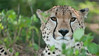 Cheetah Portrait (Raymond J Barlow) Tags: africa portrait green art nature speed tanzania wildlife adventure cheetah raymondbarlowtours