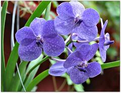 Purple Orchids (Stella Blu) Tags: flower purple orchids bigmomma stellablu nikkor105mmf28gvrmicro nikond5000 pregamesweepwinner