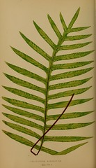 n65_w1150 (BioDivLibrary) Tags: ferns smithsonianinstitutionlibraries bhl:page=34992970 dc:identifier=httpbiodiversitylibraryorgpage34992970