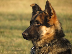 2/7/13 (Tomakievil) Tags: dog woof puppy mix shepherd german bark