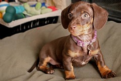 Mini Model (Zenna Bug) Tags: dog puppy miniature dachshund weinerdog chocolateandtan