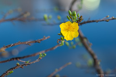 Happy Lunar New Year (Ton Ten) Tags: flower yellow closeup newyear mai tet lunar tonten