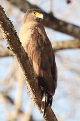 Crested Serpent-eagle (Alastair Rae) Tags: india birds spilornischeela