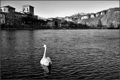 Solitude (M Luca) Tags: bw white water river swan solitude loneliness fiume bn bianco lombardia adda solitudine cigno brivio