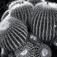 2/12/13 (Sharon LuVisi) Tags: cameraphone california cactus blackandwhite bw white black nature cacti succulent desert highcontrast round 365 needles spheres johns backlighting iphone rimlight 2013 mobilephotography iphone365 iphoneography hipstamatic blackeyssupergrain 3652013 12feb13 365the2013edition 3652013shootfirstaskquestionslater