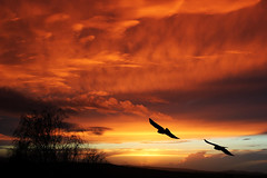Birds Soaring (mattbarber1994) Tags: sunset black tree bird birds flying soaring tre blackbirds