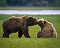 Will You Be Mine? (MommaD photos) Tags: wild usa motion love nature animals alaska wonder fun outdoors hope freedom togetherness nikon natural action wildlife bears joy tranquility happiness romance desire journey passion trust sharing learning northamerica environment wilderness emotional awe excitement sparks habitat majestic emotions untouched discovery playful interest connection onthemove bonding mobility beginnings adolescence courtship brownbears katmai maturing katmainationalpark 2bears coth5 coastalbrownbears katmaicoastalbrownbears tnwaphotography debbietubridy subadultbrownbears