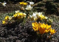 Oregon Sunshine (jacki-dee) Tags: flowers sunlight backlight oregon garden spring crocus front february thyme groundcover springblooms woollythyme