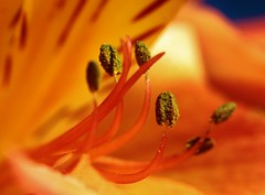 Stargazer Lily4 (Photography Peter101) Tags: flowers arizona macro nature closeup canon lilies