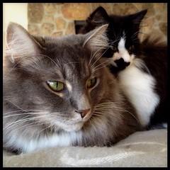Merrickballs The Protector (merrickball) Tags: cat square kitten squareformat finnegan stinks iphoneography instagramapp uploaded:by=instagram foursquare:venue=4bd48211637ba593f5ccf470