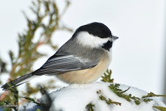 I'm glad someone likes all the snow we've been getting! (Brittamay) Tags: snow black nikon chickadee capped d5000