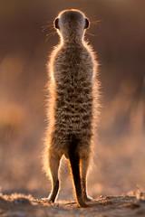 Golden Whiskers ([[BIOSPHERE]]) Tags: nature southafrica mammal meerkat wildlife kalahari