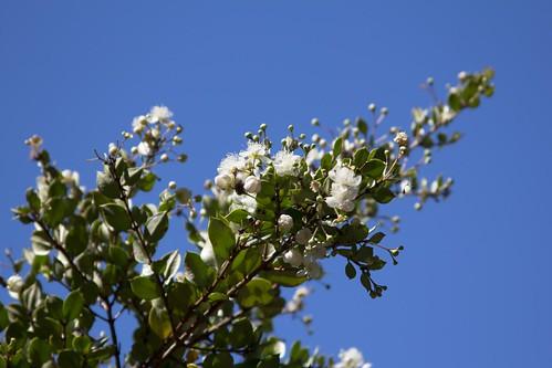 Mata de arrayán florido