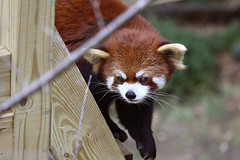 Red Panda (tetedefromage) Tags: nature animals zoo rhodeisland redpanda rogerwilliams