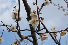 Aodani Bairin 2012 6 (KyotoDreamTrips) Tags: japan kyoto ume plumblossomfestival  aodanibairin joyocity munenagashinno nakatenmanjinja ryuufukushrine
