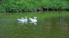 Marrecos (IvanRW) Tags: camping brazil paran pool brasil lago mercedes drake aude marreco